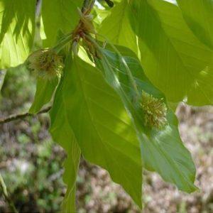 original englische Bio Bachblüten Tropfen Beech Nr. 3