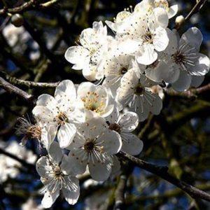 Bio Bachblüten Tropfen Cherry Plum