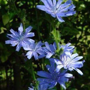 Bio Bachblüten Chicory