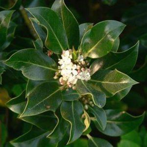 Bio Bachblüten Tropfen Holly
