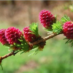 Bio Bachblüten Tropfen Larch