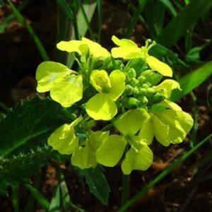 Bio Bachblüten Tropfen Mustard
