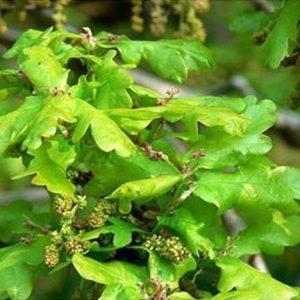 Bio Bachblüten Tropfen Oak
