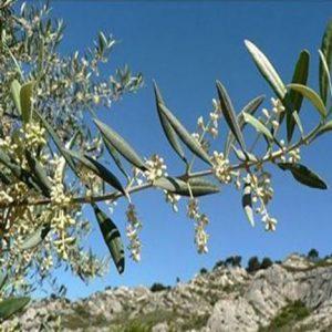 Bio Bachblüten Tropfen Olive