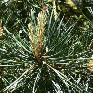 Original englische BIO Bachblüten Tropfen Pine / Kiefer Nr. 24