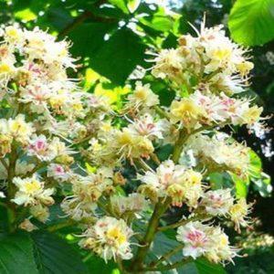 Bio Bachblüten Tropfen White Chestnut