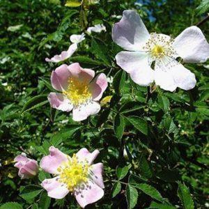 Bio Bachblüten Tropfen Wild Rose